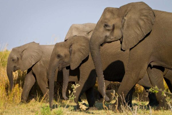 Female African elephants evolved to lose tusks due to ivory poaching